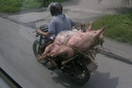 Transport de cochons